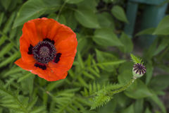 Red wild poppy Papaver rhoeas closeup on green background. Stock Photos