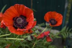 Red wild poppy Papaver rhoeas closeup. Red wild poppy & x28;Papaver rhoeas& x29; closeup Stock Photography