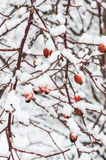Red wild rose berries covered with snow Stock Photos