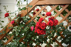Red wild rose bush Royalty Free Stock Photography