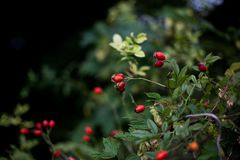 Red wild rose. Bush in the woods Stock Images