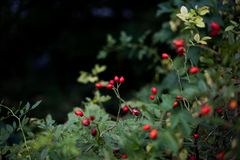 Red wild rose. Bush in the woods Stock Photo