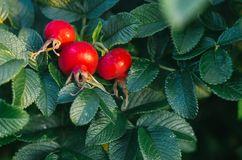 Red Wild rose fruits berry against green leaves Stock Images