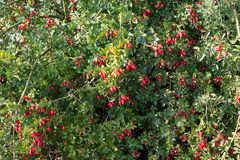 Red wild rose hips Stock Images