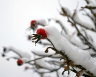 Red wild rose under snow. Stock Photo