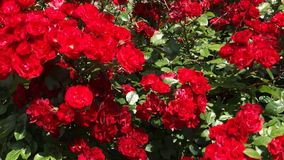 Red Wild Roses Stock Photo