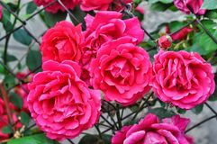 Red wild roses Stock Photography