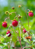 Red wild strawberries. A close up shot of red wild strawberries Royalty Free Stock Photography