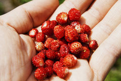 Red wild strawberries. Inside a hand Stock Images