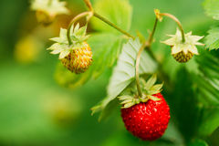 Red Wild Strawberries, Wild Strawberry. Growing Organic Wild Str Royalty Free Stock Images