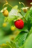 Red Wild Strawberries, Wild Strawberry. Growing Organic Wild Str Stock Photos