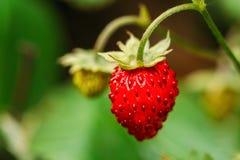 Red Wild Strawberries, Wild Strawberry. Growing Organic Wild Str Royalty Free Stock Photo