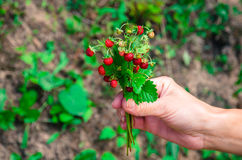 Red wild strawberry bunch Royalty Free Stock Photography