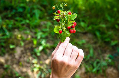 Red wild strawberry bunch Royalty Free Stock Photos