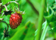 Red wild strawberry closeup Royalty Free Stock Images