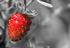 Red wild strawberry Stock Photography