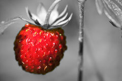 Red wild strawberry Royalty Free Stock Photo