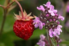 Red wild strawberry near scented wild thyme. A flavorful red wild strawberry near a flower scented wild thyme Stock Photos