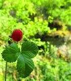 Red wild strawberry. View of a ripe sweet strawberry Stock Images