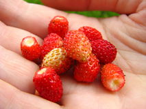 Red wild strawberrys in a hand Stock Image