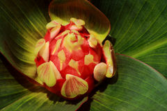 Red wild tropical flower Stock Images