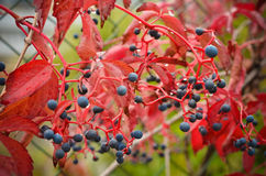 Colorful wild grapes in autumn Royalty Free Stock Images