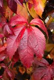 Red wild wine leaves Royalty Free Stock Images
