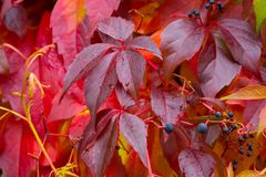 Red wild wine leaves Royalty Free Stock Image