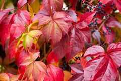 Red wild wine leaves Stock Photography