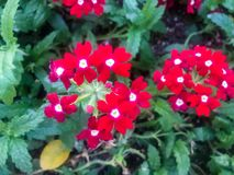 Red wildflowers royalty free stock photo