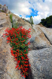 Red Wildflowers On Granite. Red Wildflowers Growing From Sierra Nevada Granite, Cleo's Bath Area, Stanislaus National Forest, California stock photos