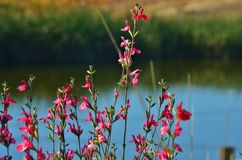 Red wildflowers next to a lake. Stock Photo