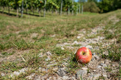 Red windfall apple on a country lane Stock Photo