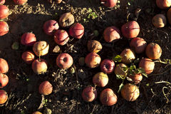 Red windfall apples Stock Images