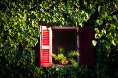 Red window in an ivy covered wall Stock Photos