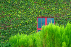 Red window on wall covered with vines Stock Images