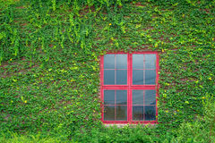 Red window on wooden wall covered with vines Royalty Free Stock Photography