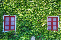 Red Windows in a Carpet of Green Leaves, Bolgheri. Typical tuscan house with all its colours Royalty Free Stock Photography