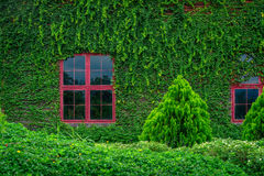 Red windows on wooden wall covered with vines Royalty Free Stock Photography