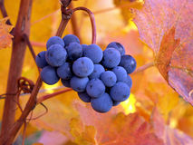 Red wine berries against autumnal leaves Royalty Free Stock Photos