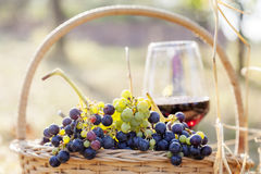 Red wine bottle and wine glass. Grapes in a basket and wine glass on in rural areas Royalty Free Stock Photography
