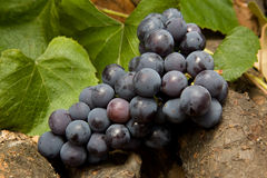 Red wine grape. With leavs Stock Images