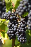 Red wine grape Stock Photo