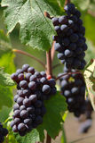 Red wine grape. Wine red grape with blurry green background, vertical Stock Photos