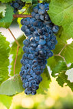 Red wine grape cluster. Hanging on vine surrounded by green grape leaves Stock Images
