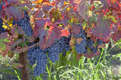 Red Wine Grape Clusters Royalty Free Stock Photography