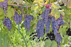 Red Wine Grape Clusters Royalty Free Stock Image