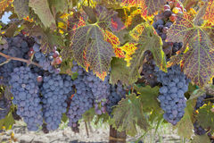Red Wine Grape Clusters Stock Image