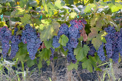 Red Wine Grape Clusters Royalty Free Stock Photos