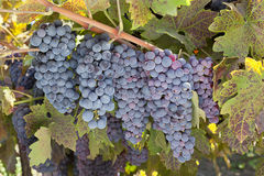 Red Wine Grape Clusters Stock Photos